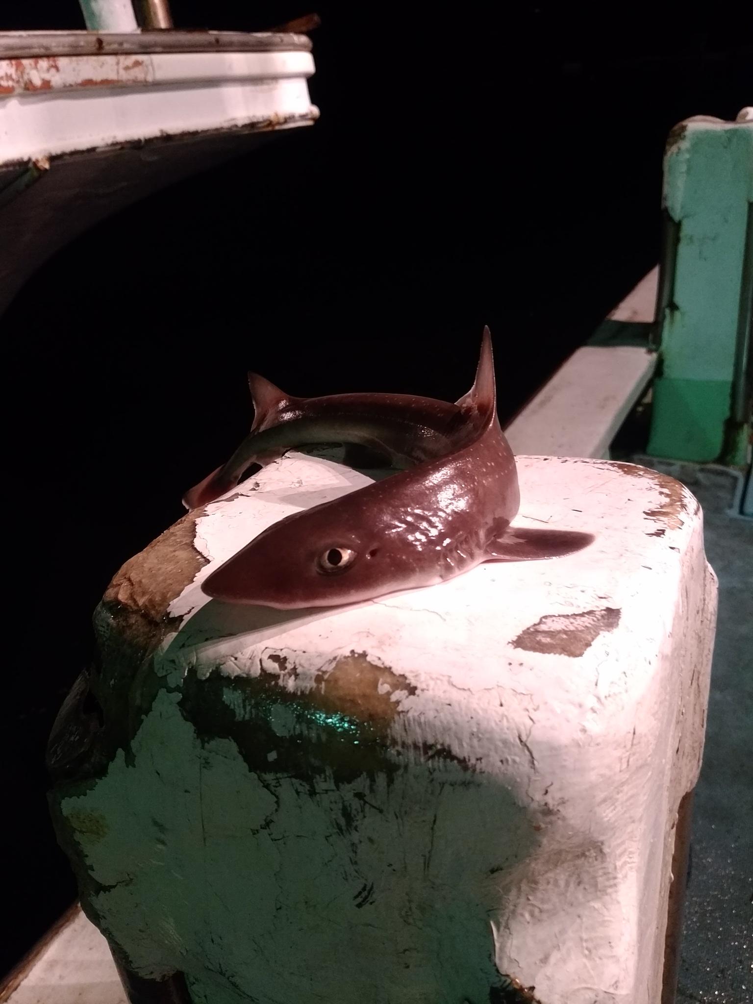 能登島にあがったサメ