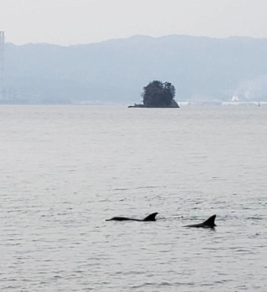 七尾の能登島に住んでいるイルカ